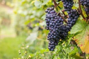 différences vin bio et vis traditionnel